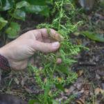 Identification et utilisation plantes sauvages